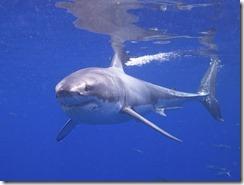 Gérant Banquier Grand Requin blanc
